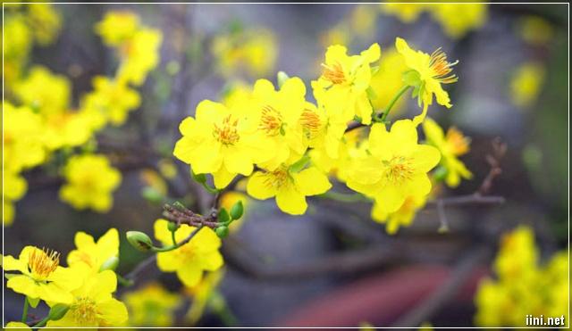 Hoa Mai Vàng Ngày Tết