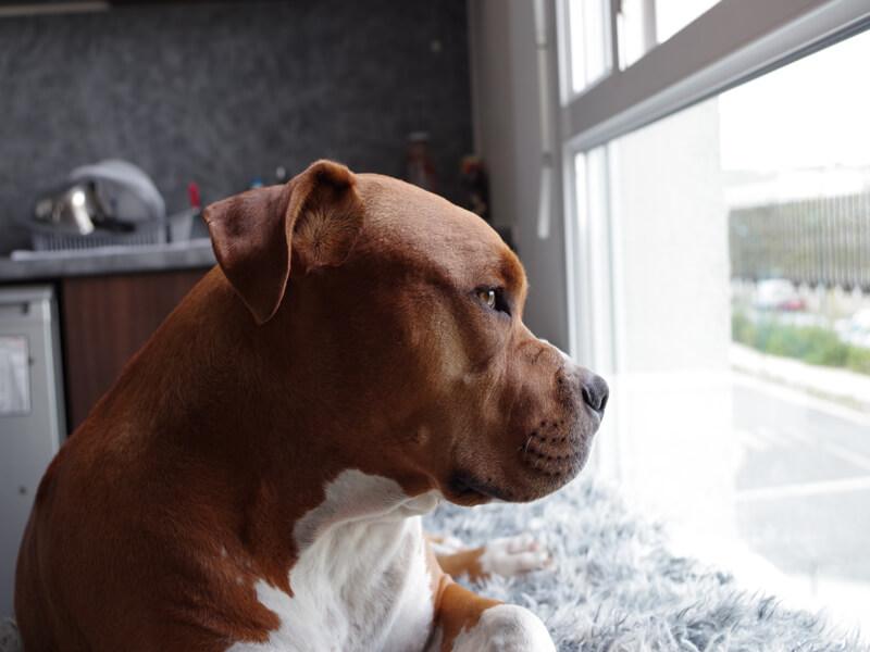 Train a Pitbull Puppy Not To Bite