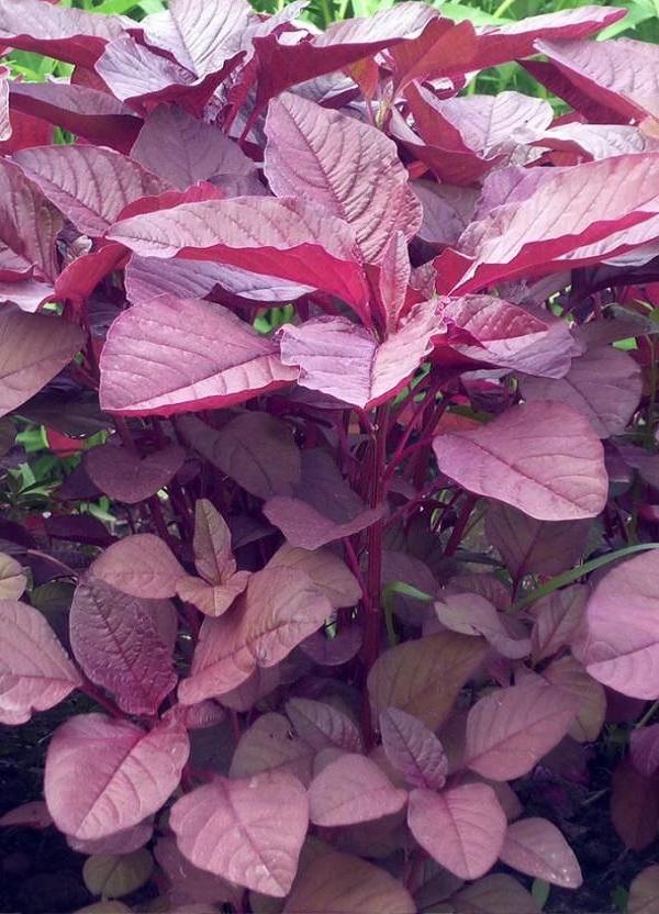 কিডনি সমস্যা দূর করতে লাল শাক ।  লাল শাকের উপকারিতা Benefits of red spinach