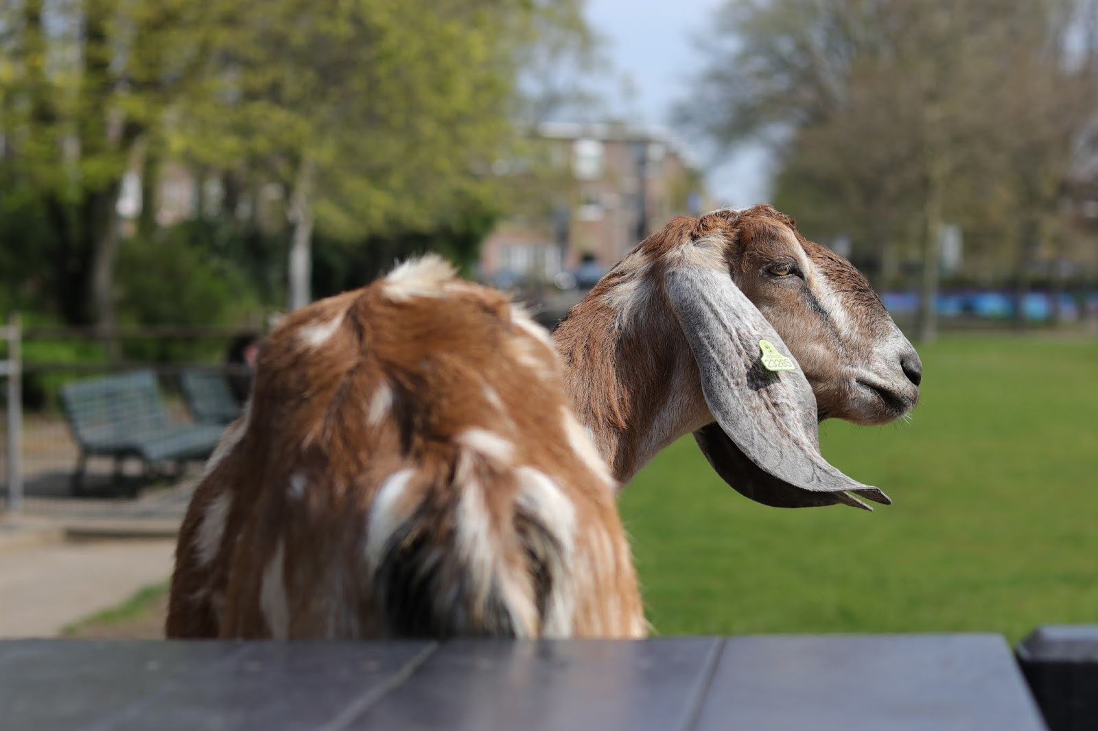A brown goat with long ears