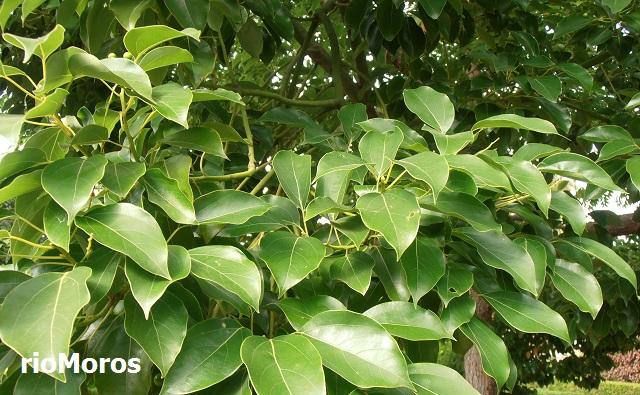 Alcanfor Cinnamomum camphora