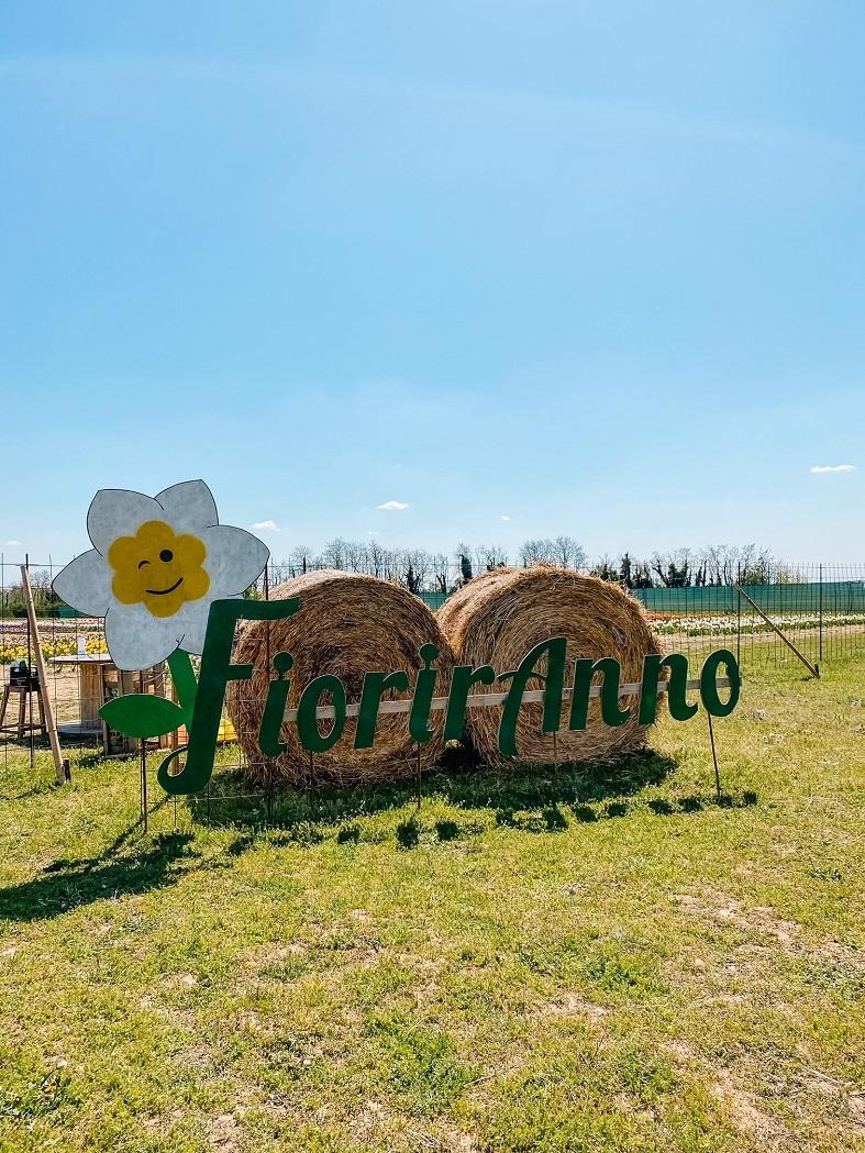 Campo di raccolta tulipani Fioriranno