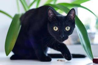 Cat-Bombay
