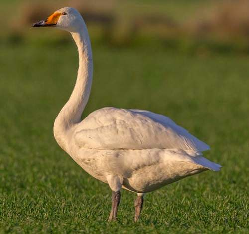 Indian birds - Whooper swan - Cygnus cygnus