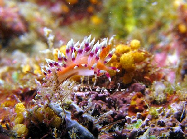 Malaysia Nudibranch