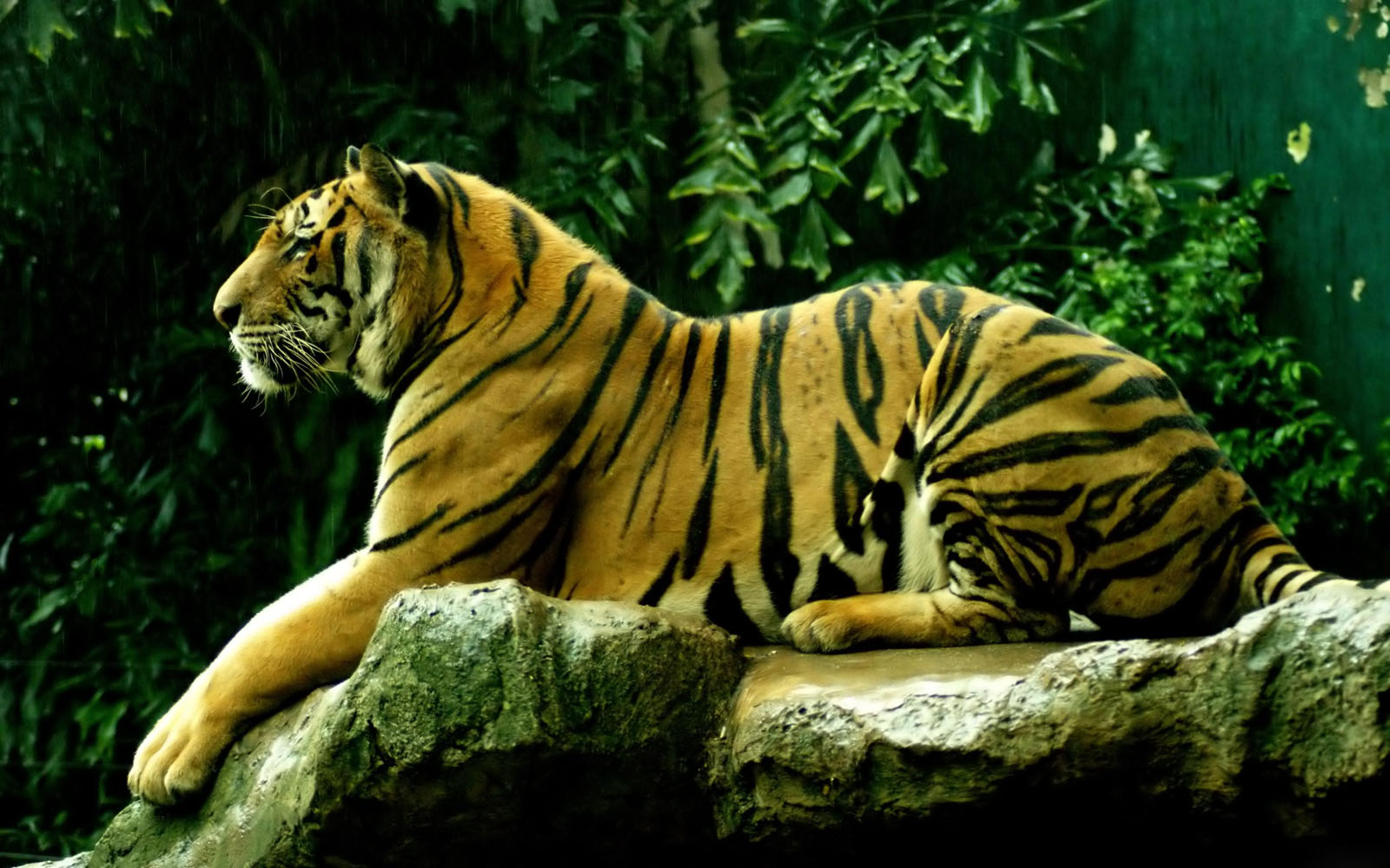 Wallpapers bengal tiger wallpapers for Best windows in the world