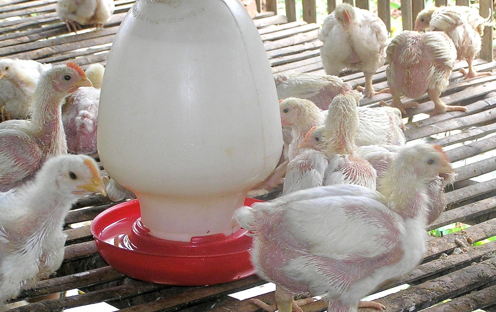 Mewaspadi Avian Encephalomyelitis