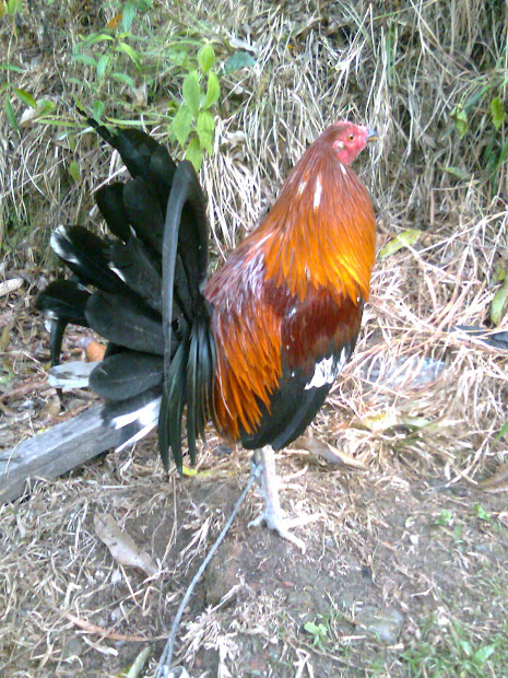 20+ White Round Head Gamefowl Pictures and Ideas on Weric