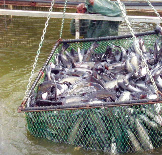 Jenis Kolam Ikan Lele