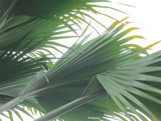 double coconut Lodoica malvidica leaves