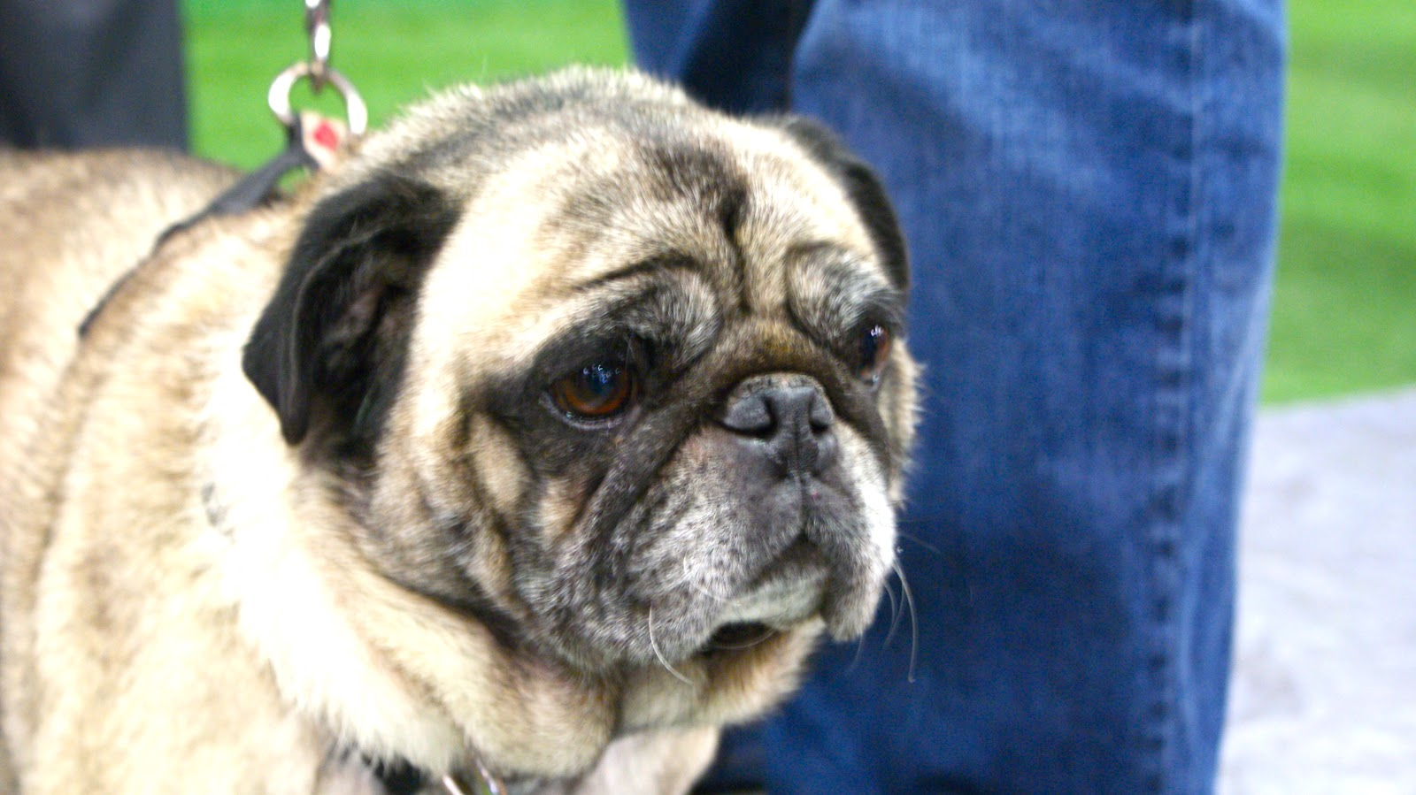 Gypsy Ju Keeping Her Eye On Melbourne Pug Rescue Parade