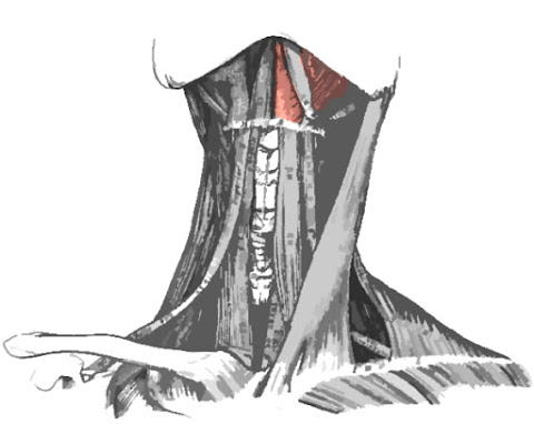 imagen localiza el musculo milohioideo