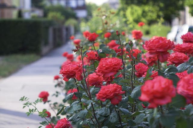 Ciri Ciri Bunga Mawar