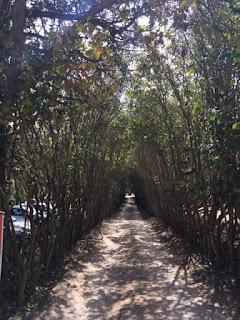 caminho de terra cheio de árvores em volta formando um corredor verde