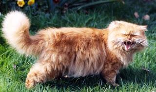Cara Menjinakkan Kucing Persia Galak yang Baru Diadopsi