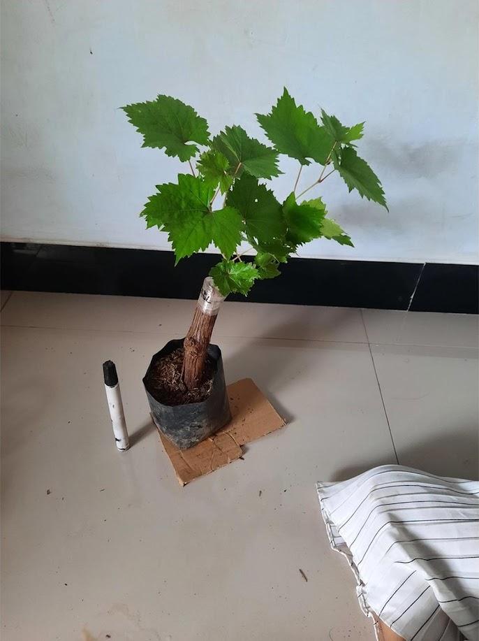 Bibit Anggur Import Angelica Garansi Valid 100 Lampung