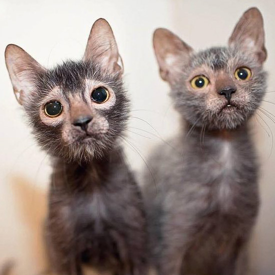 Lykoi cat siblings