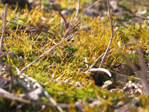 orange moss sporangia