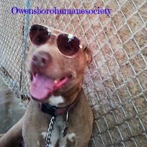 Red nose pit bull Dozer smiling wearing sunglasses-carmapoodale