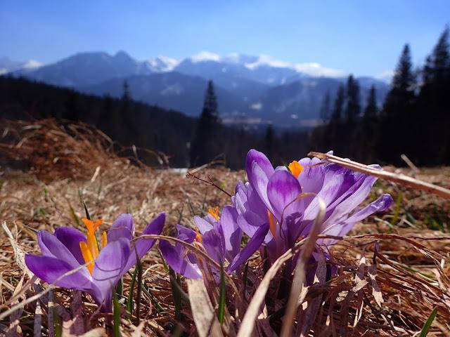Krokusy z Tatrami w tle