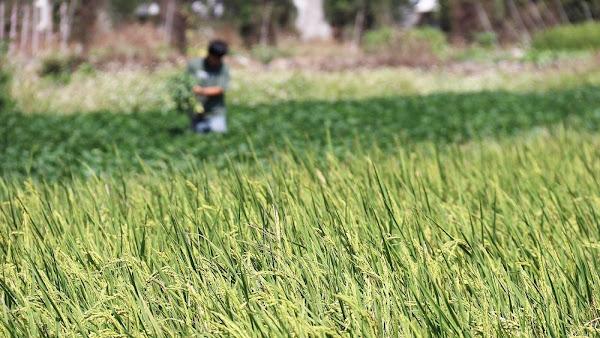 稻作第2期作「對地綠色環境給付計畫」 6月起陸續啟動申報