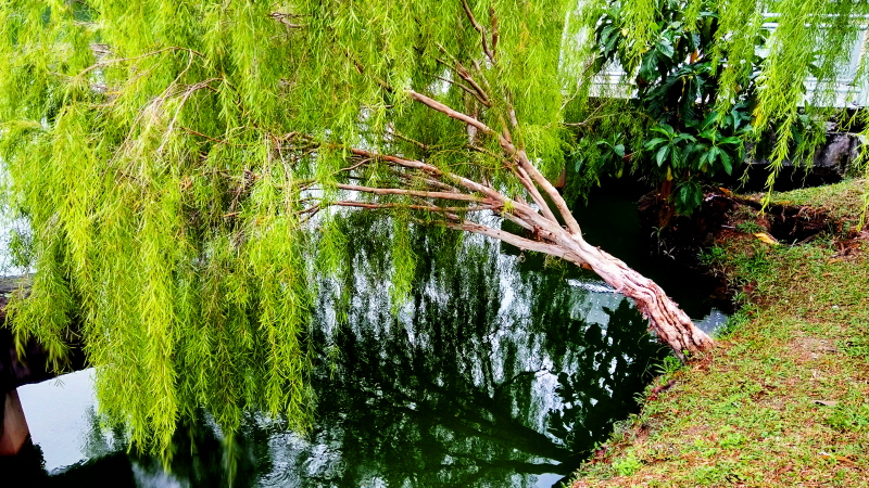 Mobile Photography: Weeping Willows 04