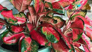 Cara merawat daun tanaman Aglonema lipstik