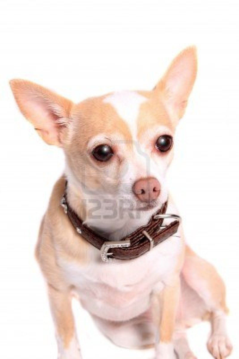 A Cute Young Girl In Casual Clothes On A Natural Blurred: Cute Dogs: Cute Chihuahua