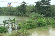 Bengawan Solo Meluap, Ratusan Hektar Padi Rusak