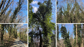 Examples of ivy invading trees in winter, near Bergamo.