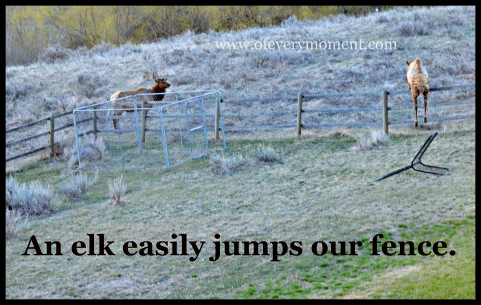 Elk come right into our fenced back yard.