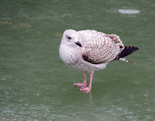 Photo of a young seagull walking on the ice looking for food