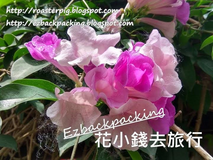 香港蒜香藤