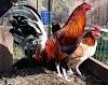Ras Ayam Filipina Terbaik Untuk Sabung Ayam Paling Agresif Dan Gahar