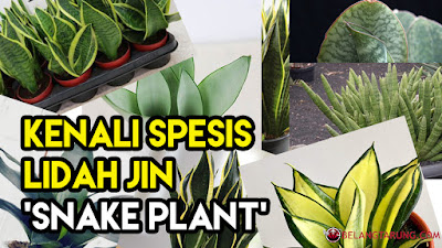 Kenali Jenis Lidah Jin Snake Plant