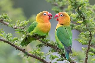 Lovebird Kacamata Fischer