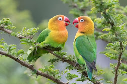 Lovebird Kacamata Fischer : Sejarah, Habitat, Ciri dan Harga