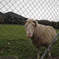 visite aux moutons Saint Jeannet