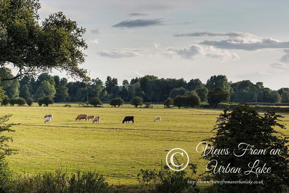 Cattle in the fields, Wolverton Mill, Milton Keynes