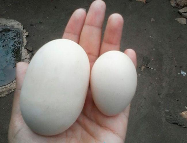 Ovo gigante ao lado de um ovo normal Foto:  Lúcia Araújo