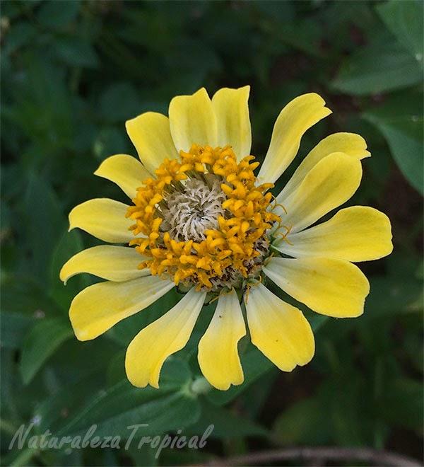 Variedad amarilla del clavelón, nombre popular de Zinnia angustifolia