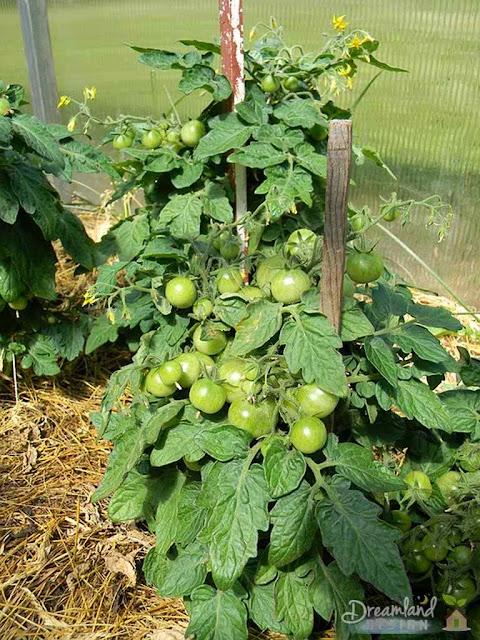 Tomatoes Spacing