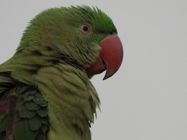 Parrot - 23