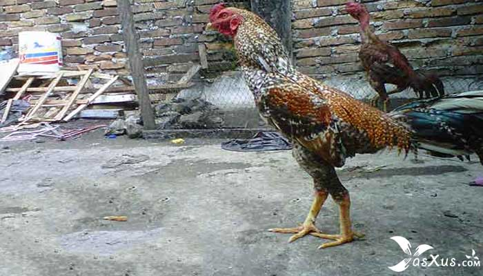 9 Jenis Ayam Bangkok Beserta Gambar, Nama, dan Ciri-Cirinya