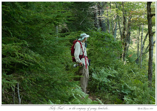 Tully Trail: ... in the company of young hemlocks...