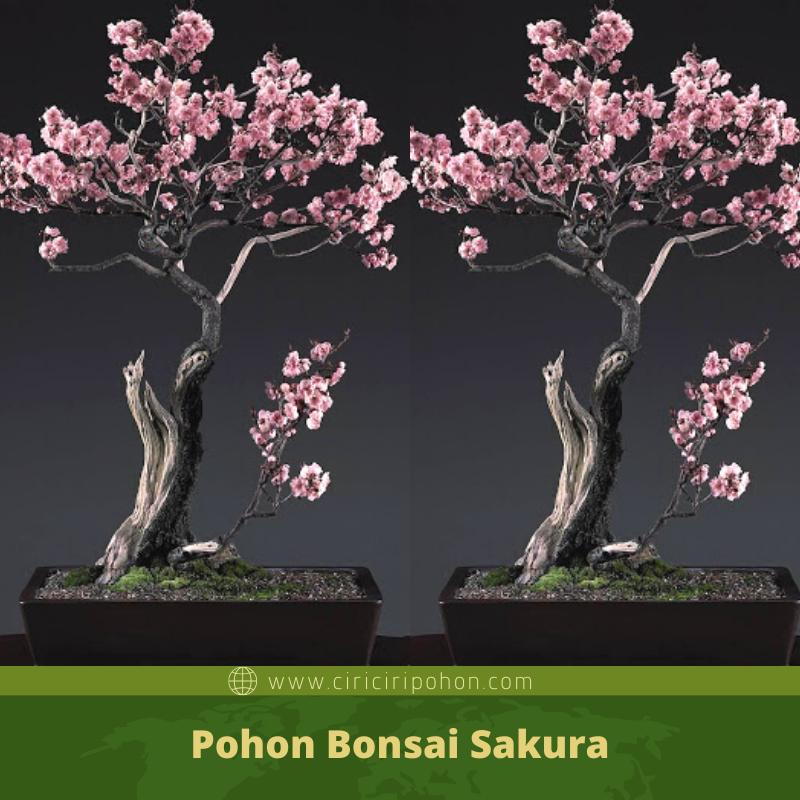 Mengenal Lebih Dekat Tanaman Pohon Bonsai Sakura Ciriciripohon Com