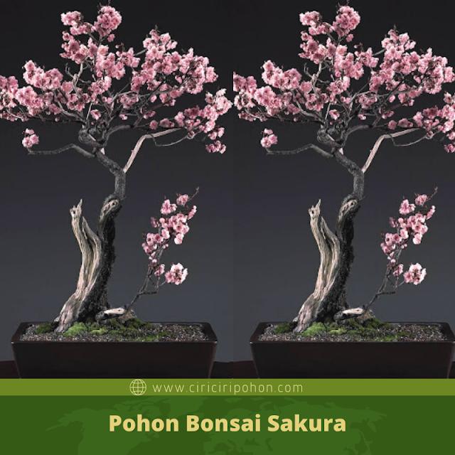 Ciri Ciri Pohon Bonsai Sakura