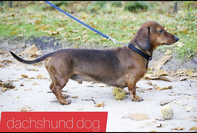 long haired dachshund, Interest in health, care and good ways to train