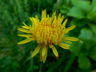 Image of a dandelion, named DDLION-0322_WHOLE.JPG, free for use with attribution