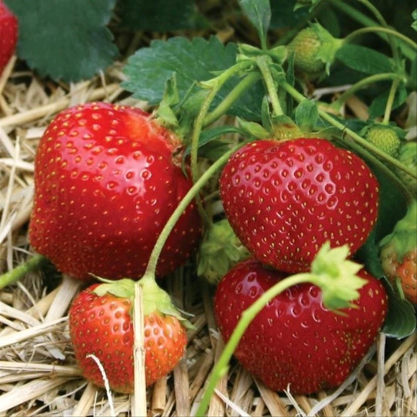 15 Benih Galletta Strawberry Import Sulawesi Utara